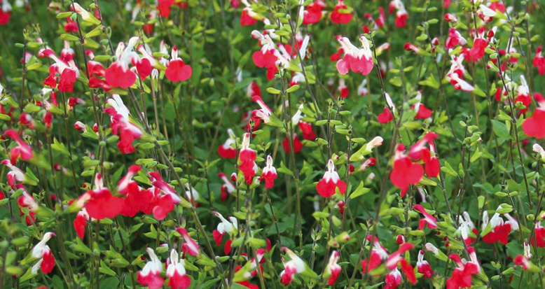 inspirational gardening salvia microphylla hot lips