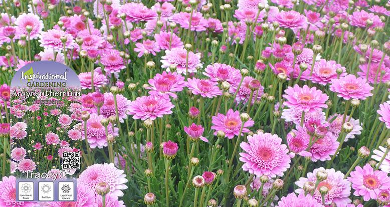 Argyranthemum 'Tracey'