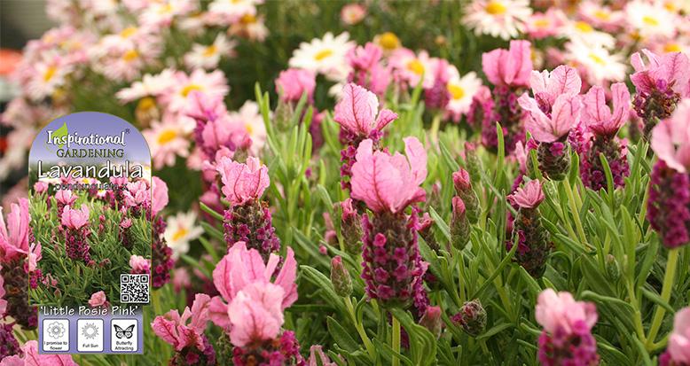 Lavandula x hybrid 'Little Posie Pink'