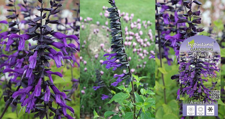 Salvia hybrid 'Amistad'