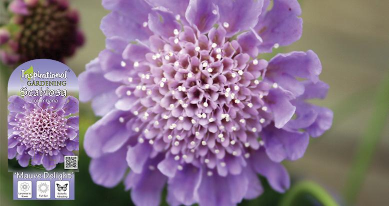 Scabiosa columbaria – 'Mauve Delight'
