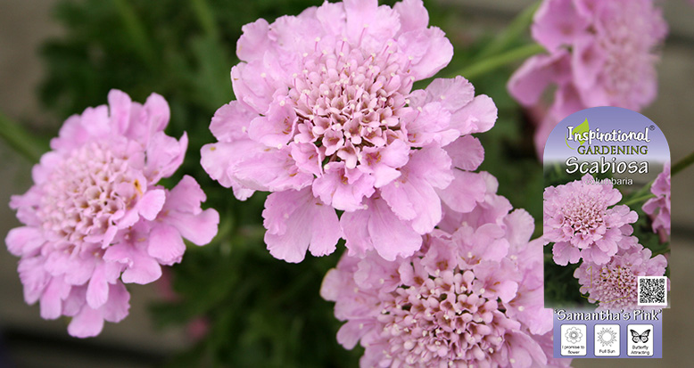 Scabiosa columbaria – 'Samatha's Pink'