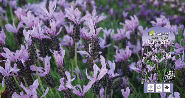 Lavandula 'High Five' Lavender