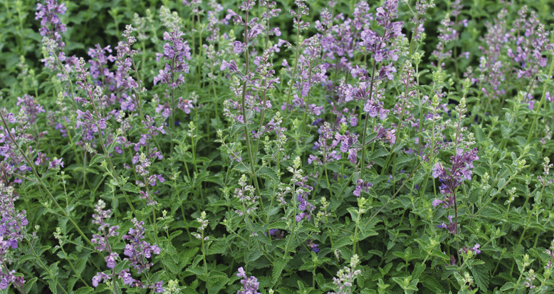 Nepeta hybrid 'Cat Mint'