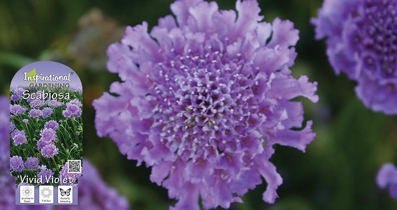 Scabiosa columbaria – 'Vivid Violet'