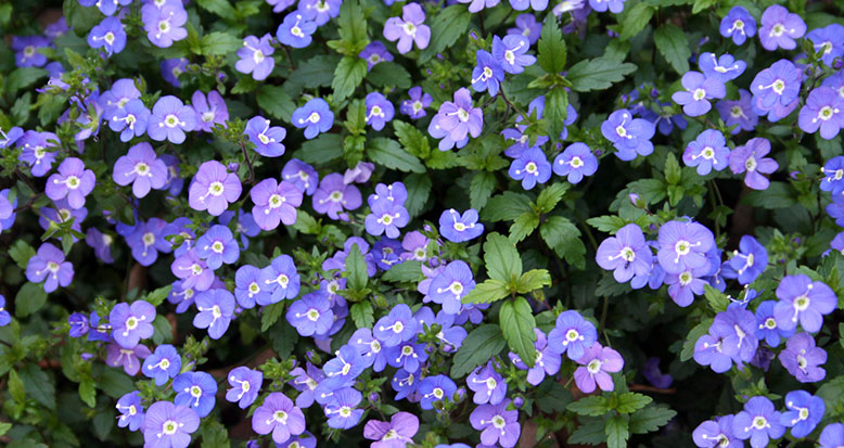 Veronica penduncularis 'Georgia Blue'