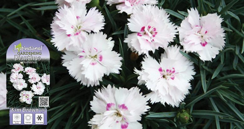 Dianthus x plumarius 'Kim Brown'