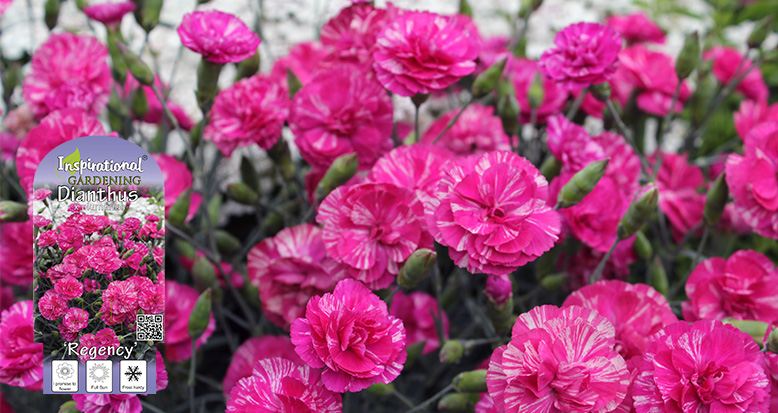 Dianthus x plumarius 'Regency'